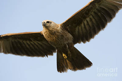 Scavenger Photograph - Juvenile Brahminy Kite by Tim Gainey