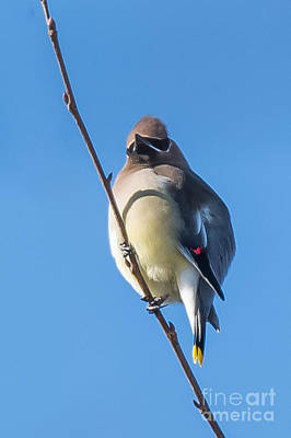 Photograph - Juvenile Cedar Waxwing by Ronald Grogan
