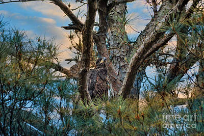Photograph - Juvenile Eagle In A Pine Tree by Jai Johnson