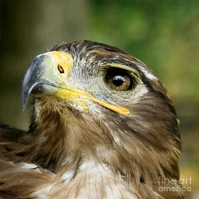 Nikki Vig Royalty-Free and Rights-Managed Images - Juvenile Eagle by Nikki Vig