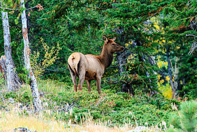 Photograph - Juvenile Elk by Ben Graham