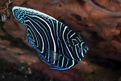 Photograph - Juvenile Emperor Angelfish In Komodo by Brandi Mueller