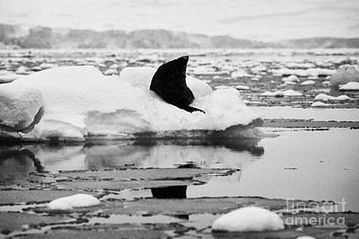 Fournier Photograph - juvenile fur seal looking up pretending not to notice floating on iceberg in Fournier Bay Antarctica by Joe Fox