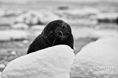 Fournier Photograph - juvenile fur seal with big eyes looking to camera floating on iceberg in Fournier Bay Antarctica by Joe Fox