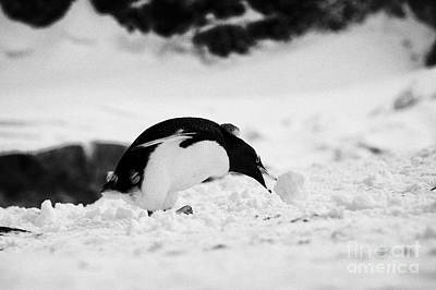 juvenile gentoo penguin Pygoscelis papua rolling picking up ball of snow at Neko Harbour arctowski p Art Print
