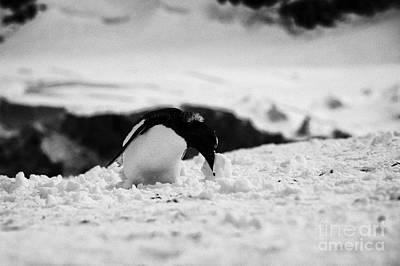 juvenile gentoo penguin rolling picking up ball of snow at Neko Harbour arctowski peninsula Antarcti Art Print