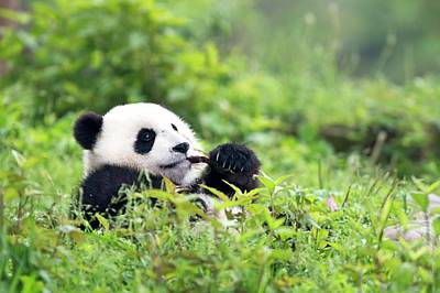 Bamboo Photograph - Juvenile Giant Panda Feeding by Tony Camacho