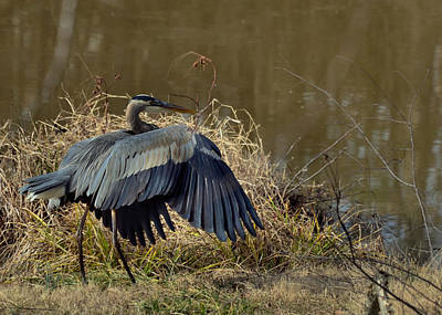 Juvenile Great Blue Heron Folding His Wings - 9773e Art Print