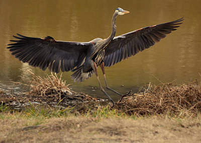 Juvenile Great Blue Heron Gliding Down - 9945h Art Print