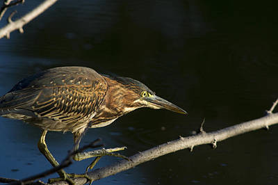Photograph - Juvenile Green Heron by Larry Bohlin