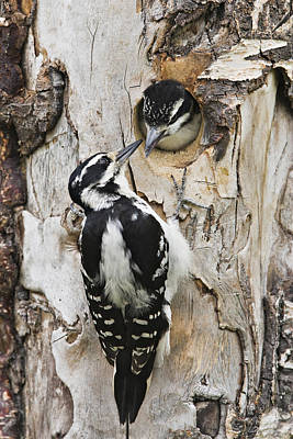 Picoides Villosus Photograph - Juvenile Hairy Woodpecker Is Fed by Ray Bulson