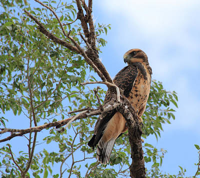 Photograph - Juvenile Hawk by Shane Bechler