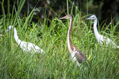 Photograph - Juvenile Heron by Gregory Daley  PPSA