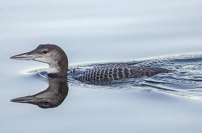 Moody Trees Rights Managed Images - Juvenile Loon Reflection Royalty-Free Image by Richard Kitchen