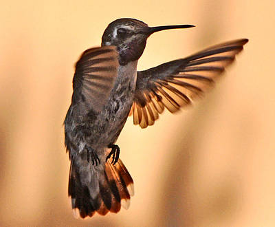 Juvenile Male Anna's In Flight Art Print