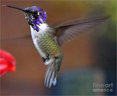 Art Print featuring the photograph Juvenile Male Costa by Jay Milo