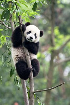 Juvenile Panda Climbing A Tree Art Print by Tony Camacho