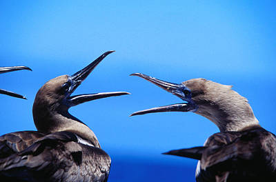 Boobies Wall Art - Photograph - Juvenile Red Footed Boobies Sula Sula by Ernest Manewal