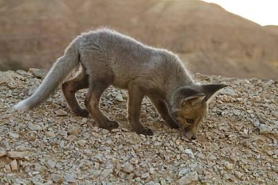 Juvenile Red Fox (vulpes Vulpes) Art Print