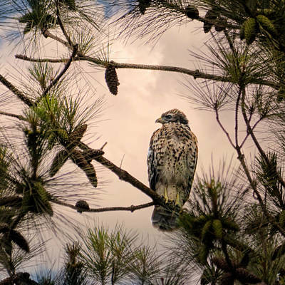 Photograph - Juvenile Red Shouldered Hawk 06.07.2014 by Jai Johnson