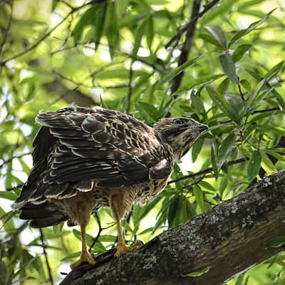 Buteo Lineatus Photograph - Juvenile Red Shouldered Hawk - 06.12.2014 by Jai Johnson
