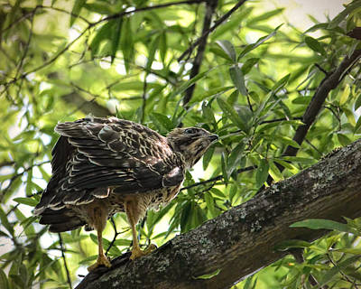 Buteo Lineatus Photograph - Juvenile Red Shouldered Hawk On Branch by Jai Johnson