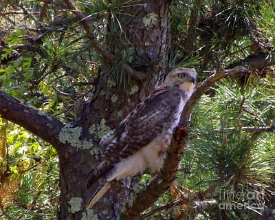 Juvenile Red-tailed Hawk Art Print by CapeScapes Fine Art Photography