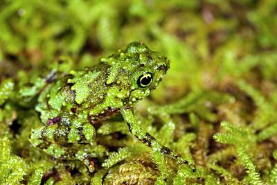 Frog Photograph - Juvenile Rot-hole Tree Frog by Alex Hyde