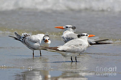 Photograph - Juvenile Royal Terns by Kathy Baccari