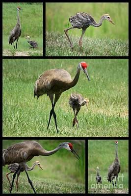 Baby Bird Photograph - Juvenile Sandhill Crane Collage by Carol Groenen
