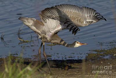 Photograph - Juvenile Sandhill Crane by Meg Rousher