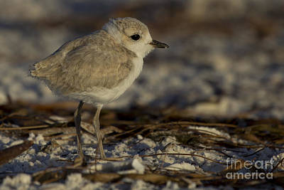 Photograph - Juvenile Snowy Plover Photo by Meg Rousher