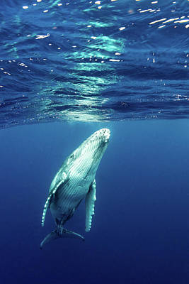 Photograph - Juvenile Southern Humpback Whale by Brook Peterson