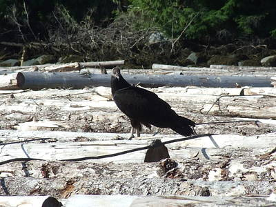 Juvenile Turkey Vulture Print by Will LaVigne