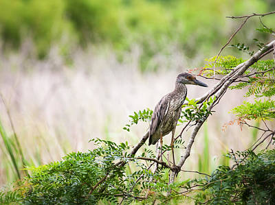 Juvenile Wall Decor Photograph - Juvenile Yellow Crowned Night Heron by Zoe Ferrie