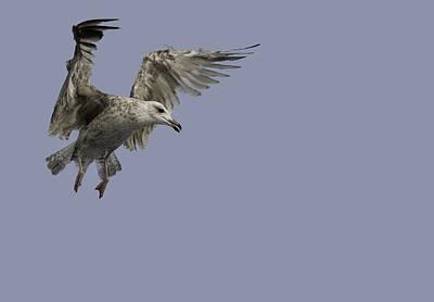 Juvenille Herring Gull Art Print by Andy Astbury