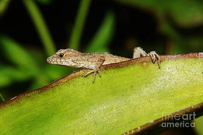 Photograph - Juvie Brown Anole by Lynda awson-Youngclaus