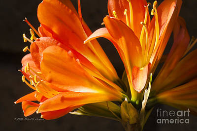 Photograph - Kaffir Lily Glow by Richard J Thompson
