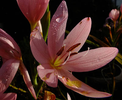 Photograph - Kaffir Lily by Phil Darby