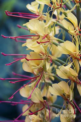 Kahili Ginger - Hedychium Gardnerianum - Kula Maui Hawaii  Art Print by Sharon Mau
