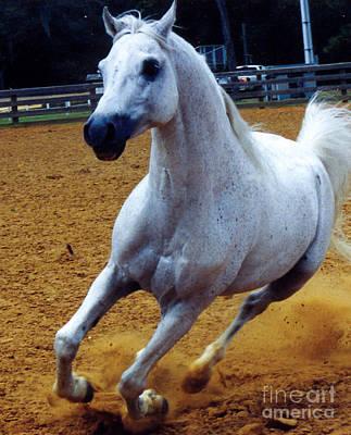 White Stallion With Rider Photograph - Kaiyoum Might by Kryztina Spence