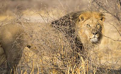 Bigcat Photograph - Kalahari King #1 by Andy-Kim Moeller
