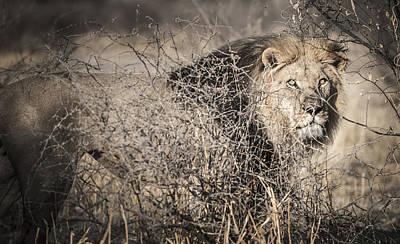 Bigcat Photograph - Kalahari King No 1 - Arae by Andy-Kim Moeller
