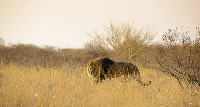 Bigcat Photograph - Kalahari King No 2 by Andy-Kim Moeller