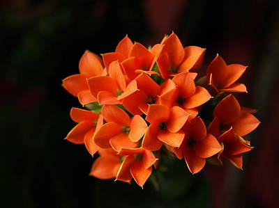 Photograph - Kalanchoe by Jeffrey Peterson