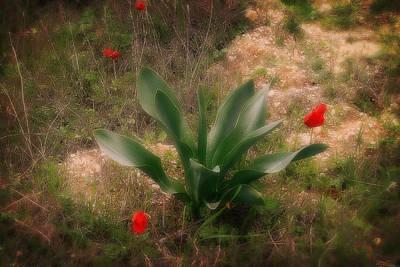Painting - Kalanit Flower- Red Anemone Bush by Doc Braham