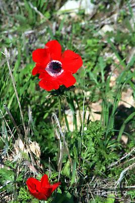 Photograph - Kalanit Flower- Red Anemone - Impressionist Art Work by Doc Braham