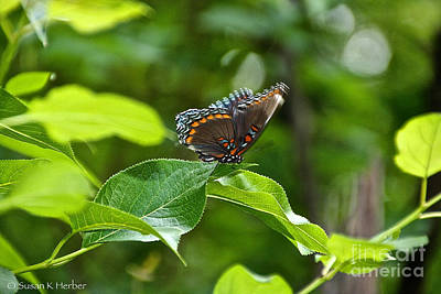 Photograph - Kaleidoscope Butterfly by Susan Herber