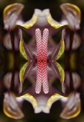 Symmetry Photograph - Kaleidoscope Collage Of Laceleaf Flower by Silvia Otte