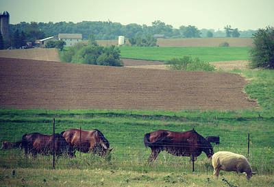 Iowa Photograph - Kalona Horses And Sheep by Cassie Peters